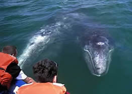Video en ingles sobre ballenas grises